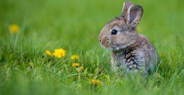 Kaninens år