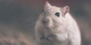 Råttans år