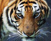 Tigerns år