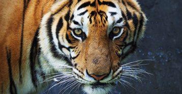 Då infaller tigerns år